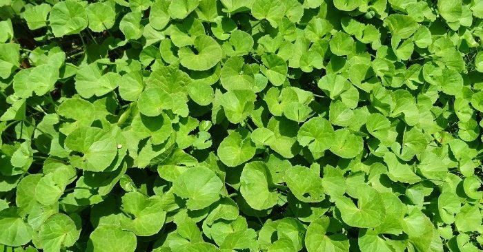Cây rau má là một loại dược thảo có tính bổ dưỡng rất cao, chứa nhiều sinh tố, khoáng chất, chất chống oxy hoá...