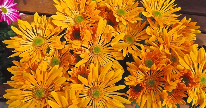 Trà hoa cúc tốt cho sức khoẻ. Chọn hoa tươi