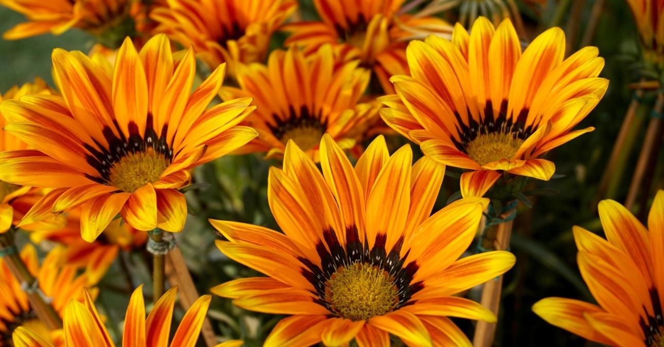 Hoa cúc dùng chữa các chứng huyết áp, đau đầu mờ mắt, chăm sóc sức khoẻ người cao tuổi...