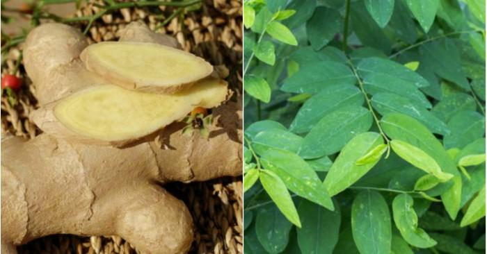 trắng da, sạch nám đơn giản với mặt nạ rau gót và gừng tươi. Gừng có danh pháp hai phần: Zingiber officinale là một loài thực vật hay được dùng làm gia vị, thuốc. Trong củ gừng có các hoạt chất: Tinh dầu zingiberen, chất nhựa, chất cay, tinh bột.