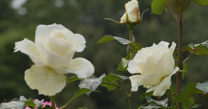 Hoa hồng trắng (Hoa nhược tâm) là tên gọi chung cho loài hoa hồng lai có nguồn gốc từ châu Âu,được biết đến từ thời cổ đại và được canh tác từ thời phục hưng. Thực tế đây là một loài thuộc nhóm cây lai, mà các dòng bố mẹ vẫn chưa được xác định chắc chắn, các giả thiết cho là được lai chéo giữa các loài Rosa gallica × Rosa corymbifera hoặc Rosa ×damascena × Rosa canina.
