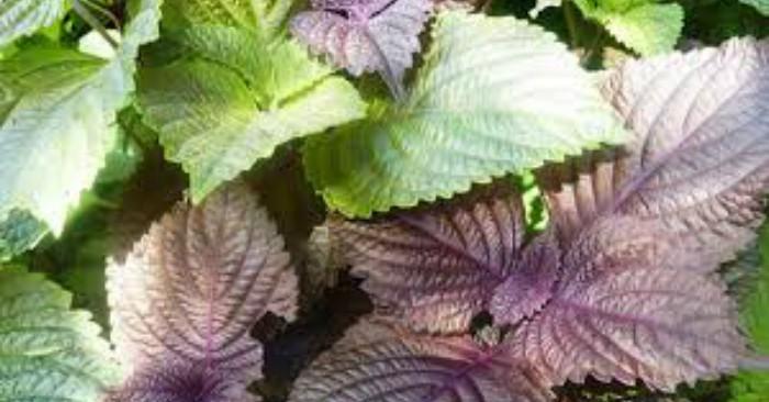 Trong y học cổ truyền Trung Quốc, Tía tô (紫蘇) được dùng như một vị thuốc được dùng để tạo hưng phấn, trị cảm, nhức mỏi, ho suyễn. Hạt có chứa tinh dầu có tính nhanh khô (can tính), giúp bảo quản và khử trùng thức ăn