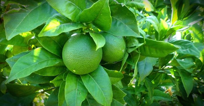 Lá chanh, vỏ cây chanh, rễ chanh và quả chanh đều là những vị thuốc tốt trong đông y.