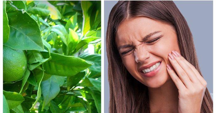 Lá chanh: trị dứt điểm sâu răng, viêm lợi, hôi miệng