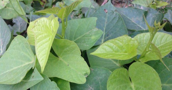 Lá rau khoai lang: được mệnh danh là rau trường thọ
