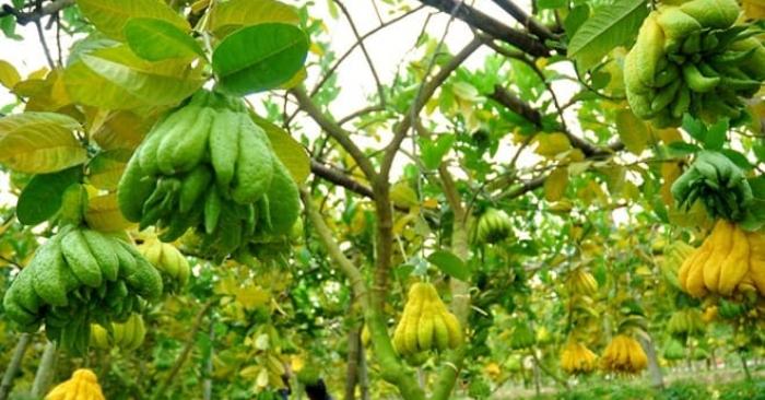 Quả phật thủ dùng ăn tươi, làm mứt, nấu chè giống bưởi. Loại quả này thường có mặt trong mâm ngũ quả trên bàn thờ ngày Tết của người Việt ở miền Bắc, miền Trung và miền Nam.