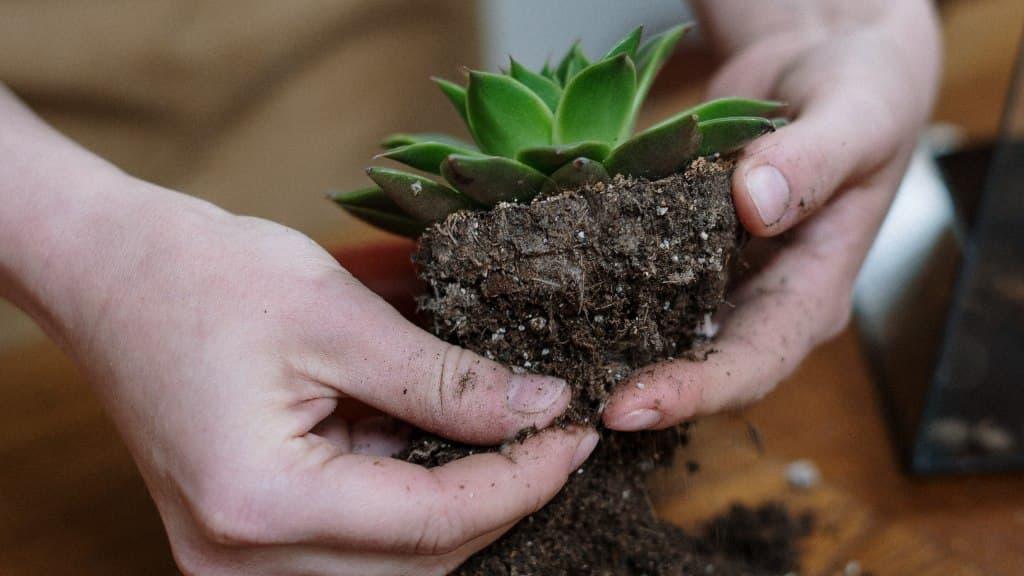 Sen đá do có phần thân và lá dày để trữ nước. Là loài thực vật ở vùng có khí hậu khô cằn, nhiệt độ cao và trữ lượng mưa thấp khiến cây phải trữ nước ở lá để có thể tồn tại trong thời gian dài. Có khoảng hơn 100 loài họ sen đá khác nhau, trong đó hơn 90% phân bố chủ yếu ở châu Mỹ, châu Úc và vùng có khí hậu nhiệt đới như châu Phi.