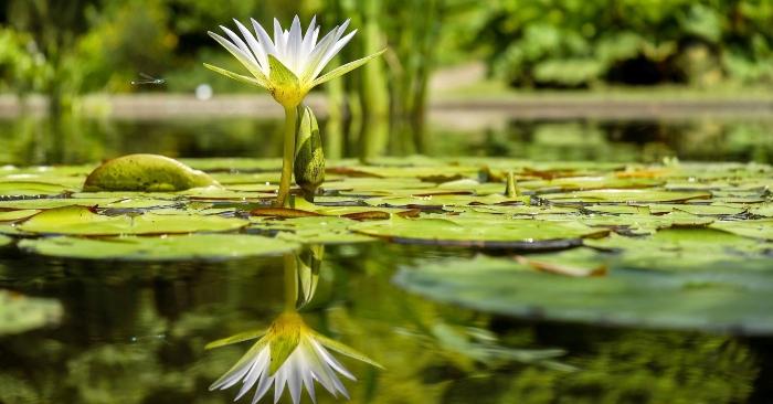 Họ Súng (danh pháp khoa học: Nymphaeaceae) là một danh pháp thực vật để chỉ một họ trong thực vật có hoa. Hoa súng trắng là quốc hoa của Bangladesh. Đối với một số nền văn hóa phương Tây thì nó là loài hoa biểu tượng của những người sinh vào tháng 7.