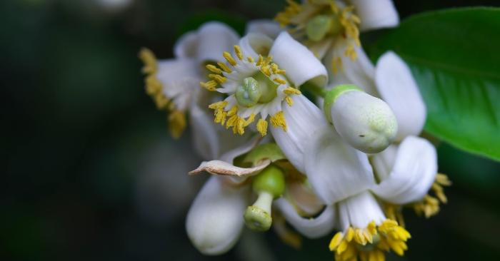 Bông bưởi dùng để ướp mía cho mùi vị thơm mát đặc trưng.