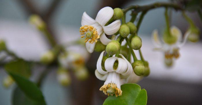 Hoa bưởi: lễ vật dâng cúng Phật còn là vị thuôc squys