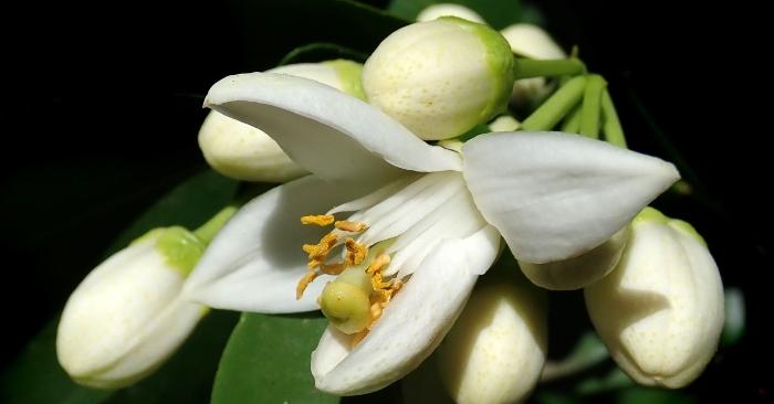 Mỗi mùa xuân thơm lừng hoa bưởi Rắc trắng vườn nhà những cánh hoa vương