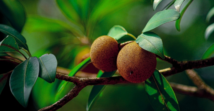 Hồng xiêm , hay còn gọi là lồng mứt, xa pô chê hoặc sabôchê (từ tiếng Pháp sapotier), là một loài cây thân gỗ, sống lâu năm và thường xanh có nguồn gốc ở miền Nam Mexico, Trung Mỹ và Caribbe