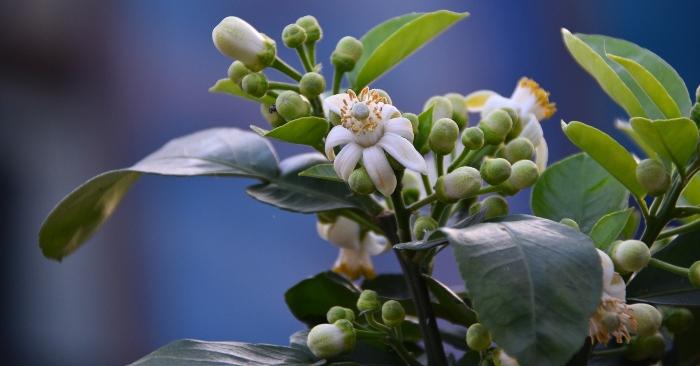 Trong Đông y thì cả hoa bưởi và lá bưởi đều là vị thuốc quý trị được nhiều bệnh.