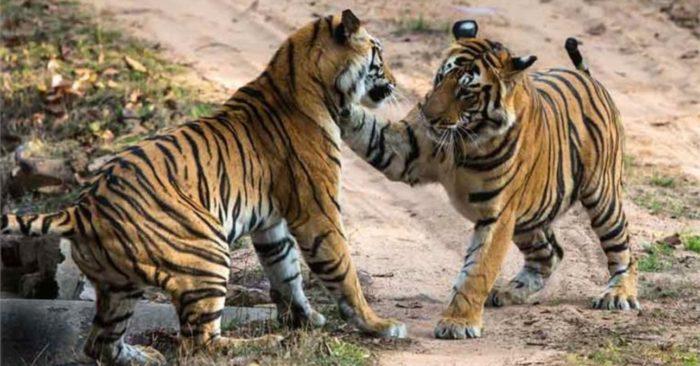 Luyện nghe tiếng Trung qua truyện ngắn ý nghĩa: Hai con hổ