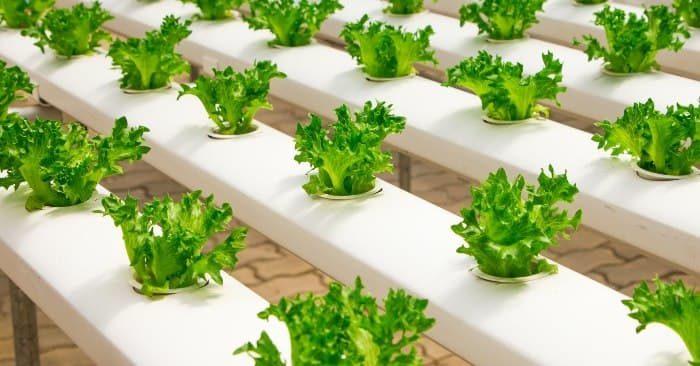 Cách trồng rau không cần đất tại nhà dễ thực hiện