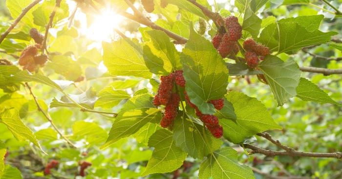 Không chỉ có quả mà các bộ phận khác của cây dâu cũng đượcc sử dụng trong các bài thuốc dân gian rất hiệu quả.
