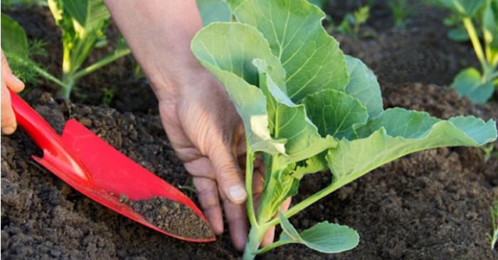 Cải được trồng quanh năm nhưng vụ chính của cải là vụ đông xuân và hè thu. Ở vụ đông xuân, người ta sẽ bắt đầu gieo hạt từ tháng 8 -12 dương lịch. Còn trong vụ hè thu, thời điểm gieo hạt sẽ vào tháng 2 đến tháng 6.