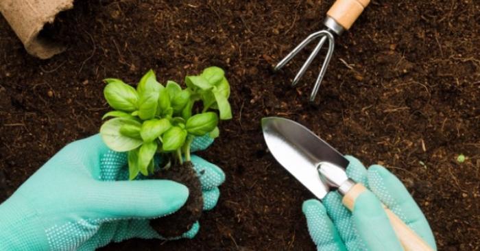 Nấm thường xuyên hiện diện trong đất nên đất gieo trồng phải được xử lý trước với một trong những loại thuốc sau: Ridomil Gold, Mancozeb, Zineb hoặc sử dụng môi trường là phân hữu cơ hoai mục kết hợp với nấm đối kháng Trichoderma. Tốt nhất là các bầu đất trên cây con nên chứa phân hữu cơ và có chủng nấm đối kháng, vì như vậy nấm này sẽ phát tán và hoạt động hiệu quả khi cây được trồng trên vùng đất mới.