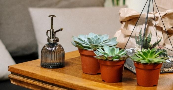 Cách chăm sóc sen đá: Bình sen đá mini được dùng trang trí cho bàn làm việc. Có loại có 3 màu sắc.