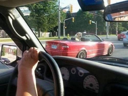 Những hình ảnh hài hước về cuộc sống: Ai đang lái chiếc xe màu đỏ?