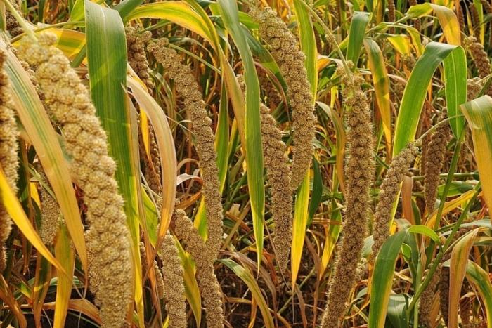 Ở những vùng cận khô ở châu Á hay châu Phi thì đây là ngũ cốc quan trọng. Nhất là ở Nigeria, Ấn Độ, Niger hay Mali.  Theo thống kê có tới 97% lượng kê là ở các nước đang phát triển. Kê được yêu thích vì sản lượng cao lại có thời vụ ngắn. Nhiệt độ cao hay khô đều sống tốt.