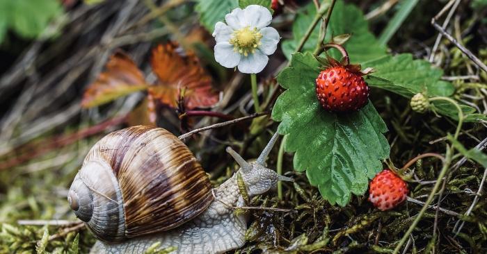 Quả dâu tây thường nằm rạp trên bề mặt đất nên các loài côn trùng sẽ tấn công chúng. cách trồng dâu tây tại nhà đảm bảo cho trái cây sạch nên hạn chế dùng thuốc bảo vệ Tv; nên bạn chịu khó bắt chúng nhé.