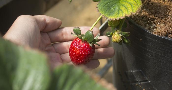 Khi quả màu đỏ hồng bạn có thể thu hoạch rồi. Nhớ là không dùng kéo mà dùng ngón tay bấm nhẹ phần cuống để lấy quả nhé.