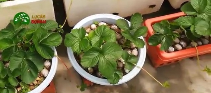 Cách trồng dâu tây tại nhà bạn có thể tận dụng các loại thùng xốp, chậu nhựa hay các chậu chuyên dụng để trồng.