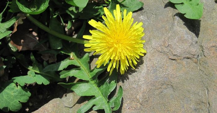Hoa của cây này màu vàng được sử dụng để hãm trà; giúp thanh nhiệt, giải độc cho cơ thể