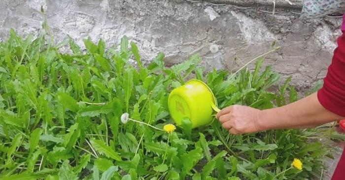 Loại cây này dễ trồng và dễ chăm sóc.  Không những mang lại vẻ đẹp cho không gian nhà bạn; mà còn sử dụng chúng để chăm sóc sức khỏe