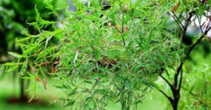 Theo nghiên cứu của GS Ngô Ứng Long và cộng sự thuộc học viện Quân y, cây đinh lăng cùng họ với nhân sâm.