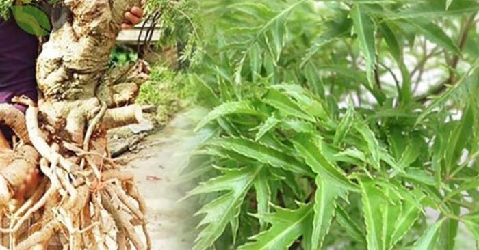 Đinh lăng có tên khoa học là Polyscias ịrmicosa (L.) Harms (Panax fruticosum L), thuộc họ Ngũ gia bì (Araliaceae). Cây còn được gọi với những tên khác, như: nam dương sâm, cây gỏi cá. Trong dân gian có nhiều loại đinh lăng, tuy nhiên loại phổ biến và dùng làm thuốc là đinh lăng lá nhỏ (hay còn gọi là cây gỏi cá).