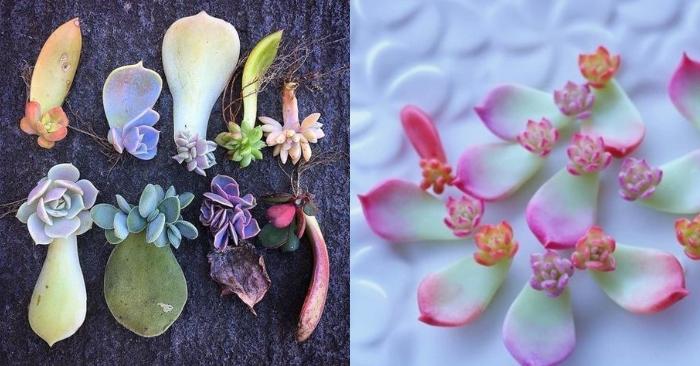 Cách nhân giống sen đá bằng nước để cây ra hoa; nở hoa; Cách ươm bằng hạt; bằng chai nhựa;