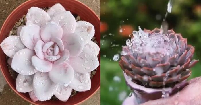 Các loại sen đá; Chăm sóc trong nhà; trong phòng máy lạnh nở hoa; kỹ thuật giâm lá, gieo hạt.