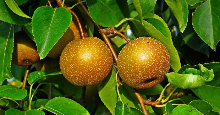Mắc cọoc  là cây thuộc họ với cây lê. Mắc cọoc là cây thường mọc hoang dại trong rừng hoặc đồi núi vùng Lạng Sơn, Cao Bằng hay ở Campuchia, vùng nhiệt đới châu Á . Nhìn bề ngoài từ gốc, thân, lá và hoa đều rất giống với lê duy chỉ có lá nhỏ hơn và dày hơn lá cây lê. Hoa nở vào mùa xuân, có màu trắng như hoa lê, thường kết thành chùm từ 3 đến 5 bông.