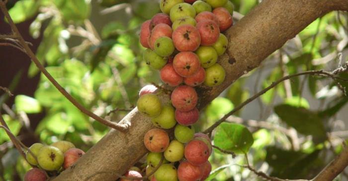 Thành phần chất xơ dồi dào nên loại trái cây này có tác dụng tuyệt vời trong việc loại bỏ các gốc tự do và các chất ung thư khác; giúp phòng ngừa ung thư đại tràng và ung thư vú.