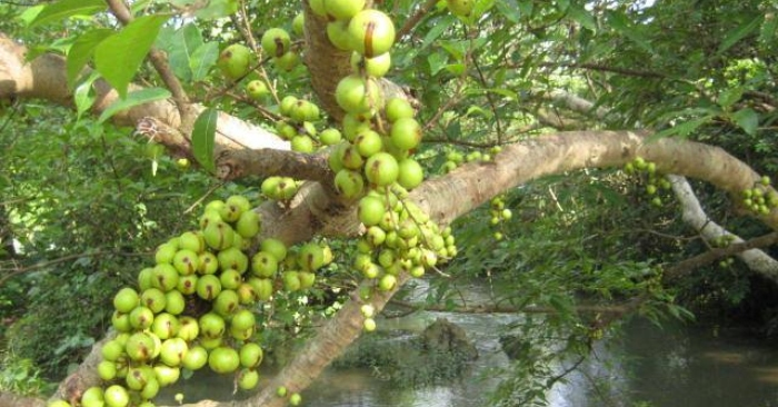Những chùm sung sai trĩu từng bị để rụng khắp vườn ao, nhưng lại có giá trị tuyệt vời trong trị bệnh và ẩm thực.