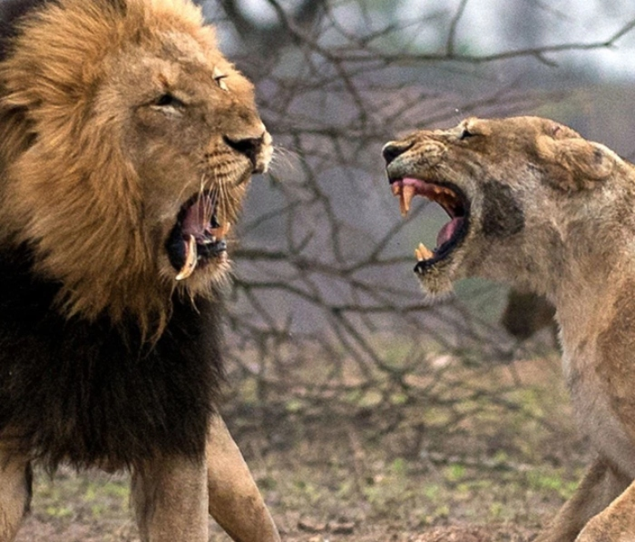 sư tử hà đông