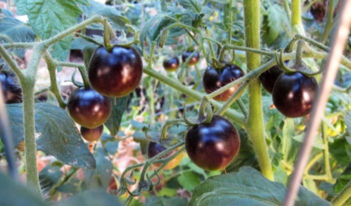 Cà chua đen có tác dụng gì; Serum cà chua đen; ngoài thành phần licopen, cà chua này có thêm một hợp chất chống oxy hóa là anthocyanin.
