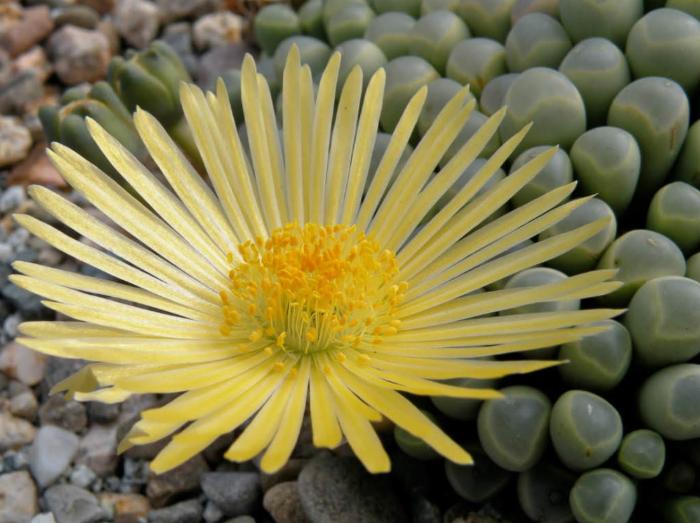 Các loại sen đá ra hoa đẹp; đá nở hoa có ý nghĩa gì; Các loại sen đá có hoa; Kinh nghiệm trồng sen đá; Hoa sen đá.