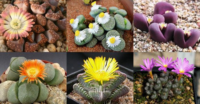 Các loại sen đá ra hoa đẹp phổ biến hiện nay, ý nghĩa phong thủy, gia đình; Hà Nội, Đà Nẵng, HCM.