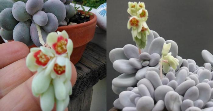 Các loại sen đá ra hoa đẹp; loại sen đá phổ biến; Sen đá đẹp; Sen đá đẹp nhất thế giới; Hình ảnh sen đá đẹp nhất.
