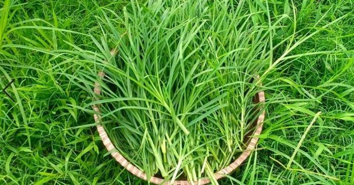 Cỏ mần trầu: công dụng bất ngờ chữa được nhiều loại bệnh; Cỏ mần trầu chữa tiểu đường; Rễ cây cỏ mần trầu là rễ gì; Tắm cỏ mần trầu có tác dụng gì.