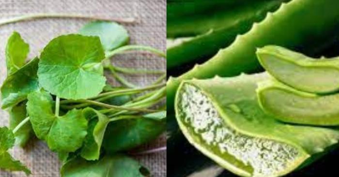 Rau má  thường được dùng làm nước ép hoặc chế biến món ăn có tác dụng thanh nhiệt, giải độc.