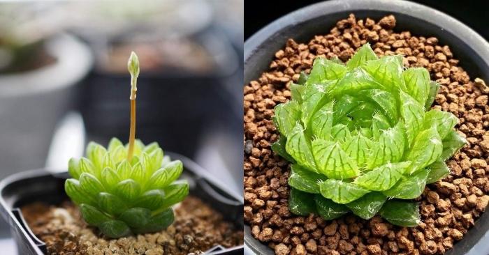 Sen đá ngọc tròn; mua hạt giống ở TPHCM, Tây Ninh, Kiên Giang, Phú Quốc, Vũng Tàu, Đồng Nai.