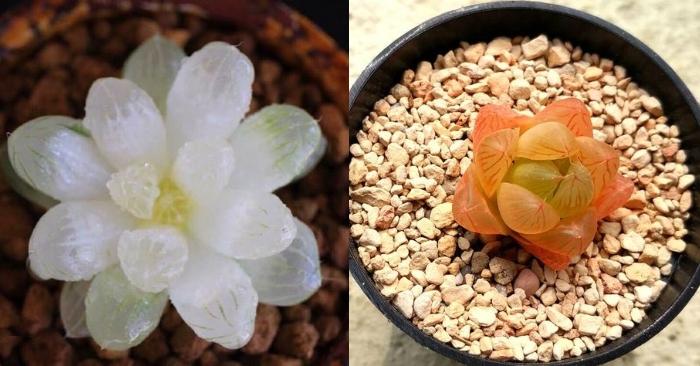 Cách trồng, chăm sóc và ý nghĩa của sen đá ngọc; tphcm; Các loại; xanh ngọc bích; trắng, đỏ, hồng.