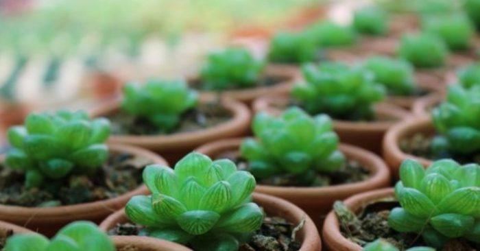Cách trồng, chăm sóc và ý nghĩa của sen đá ngọc