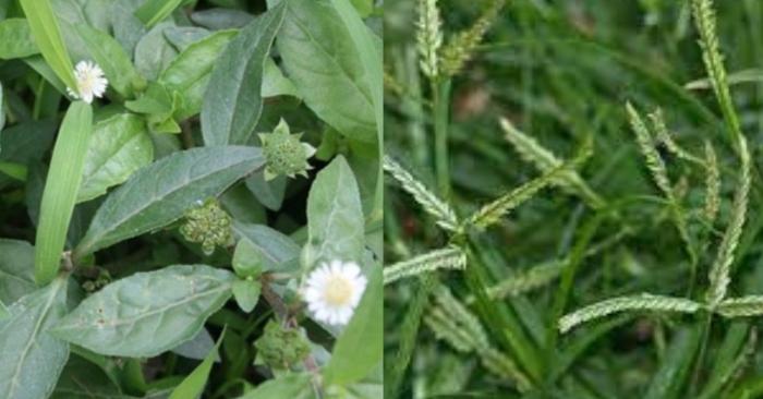 cách trồng cây cỏ mực; Cây cỏ mực: cây thuốc dân gian trị nhiều bệnh tuyệt hay.