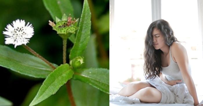 uống kim lăng thảo nhiều có sao không; cách nhận biết cây kim lăng thảo; uống nước cây nhọ nồi có tác dụng gì;