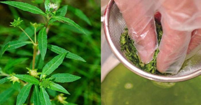 tác dụng của cây cỏ mực và đậu đen;t ác dụng của cây cỏ mực với trẻ sơ sinh; mua cây cỏ mực; tác hại của cây cỏ mực; cây nhọ nồi;